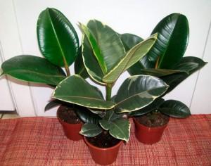 Фикус каучуконосный в горшках три растения