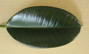 Лист фикуса каучуконосного