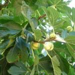 Фиговое дерево инжир