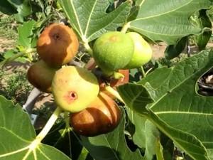 Плоды и листья инжира на дереве