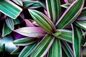 Традесканция крупный план листья