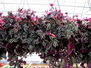 Растения традесканции в подвесных кашпо