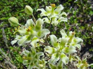 Зигаденус изящный соцветие крупный план