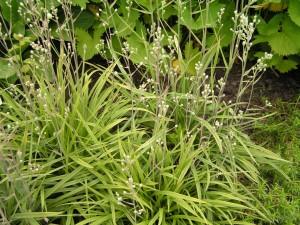 Зигаденус изящный растение
