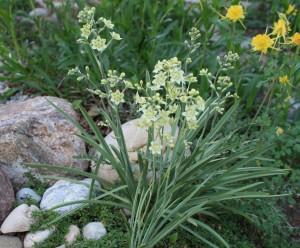 Зигаденус изящный в саду