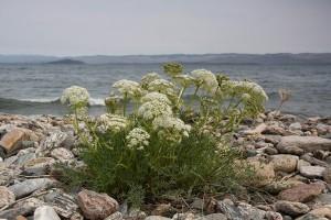 Вздутоплодник сибирский на каменистом берегу