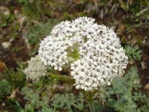 Вздутоплодник сибирский соцветие крупный план
