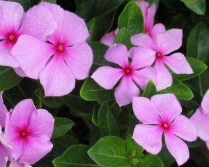 Катарантус розовый цветки крупный план