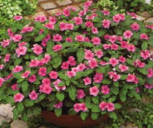 Барвинок розовый в саду