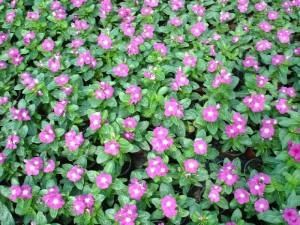 Катарантус розовый много цветов