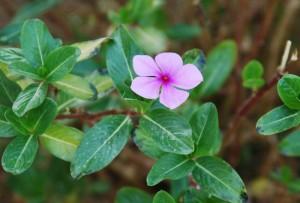 Катарантус розовый цветок крупный план