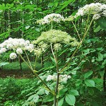 Дудник лесной фото