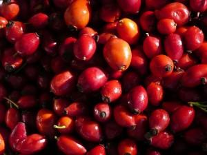 Плоды шиповника спелые