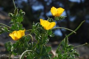 Мачок желтый цветки
