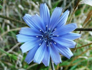 Цветок цикория крупный план