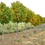 Ясень обыкновенный аллея деревьев