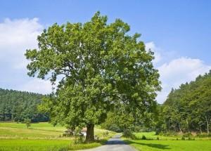 Ясень обыкновенный дерево