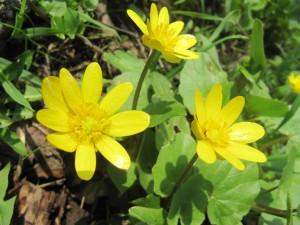 Чистяк весенний цветы крупный план