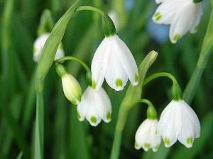 Цветы белоцветника крупный план