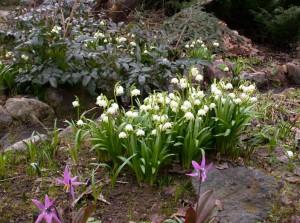 Белоцветник на берегу ручья среди других растений