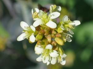 Вяжечка гладкая соцветие крупный план