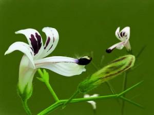 Андрографис метельчатый соцветия крупный план