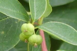 Плоды и листья секуринеги крупный план