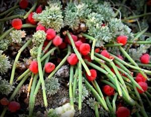 Эфедра хвощевая плоды на ветках крупный план