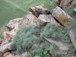 Эфедра хвощевая на скалах