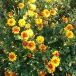 Хризантема индийская желто-оранжевая