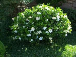Гардения жасминовидная в саду