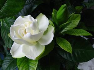 Гардения жасминовидная цветок крупный план