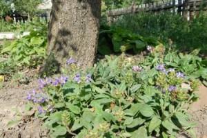 Черноголовка обыкновенная в саду