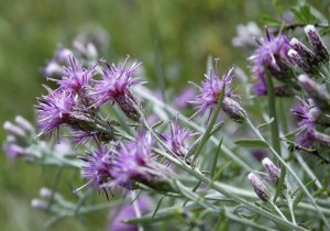 Соссюрея иволистная цветы