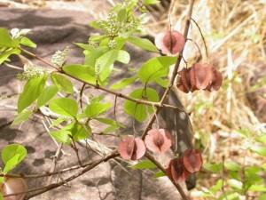 Комбретум мелкоцветный ветви с плодами