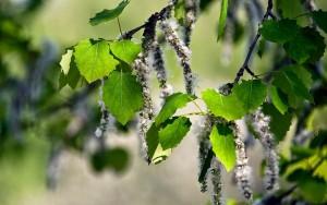Ветви осины с листьями и плодами