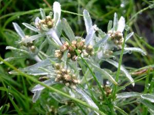 сушеница топяная трава