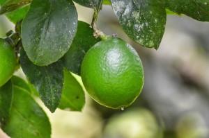 ветвь лимноа с листьями и плодом